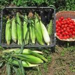モロコシ収穫