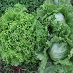 秋野菜初収穫